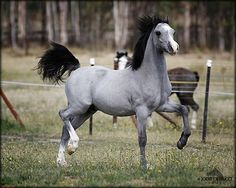 Grey Arabian