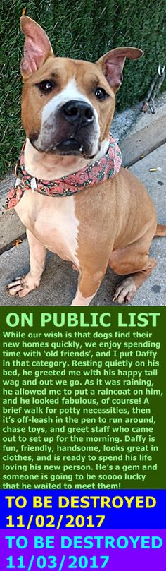 MURDERED 11-3-2017 --- Hello, my name is Daffy. My animal id is #10859. I am a male brown dog at the Manhattan Animal Care Center. The shelter thinks I am about 2 years old.  I came into the shelter as a stray on 26-Oct-2017.  http://nycdogs.urgentpodr.org/daffy-10859/