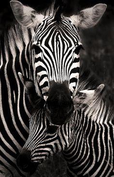 phototoartguy:  Zebra LovebyRudi Hulshof. Thank You, Rudi! big5africansafari