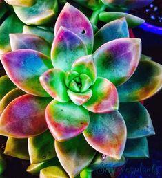 Colorful Succulents, Cacti And Succulents, Planting Succulents, Garden Plants, Planting Flowers, Flowers Nature, Exotic Flowers, Beautiful Flowers, Unusual Plants
