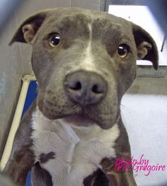 A4789377 I am a very friendly 4 month old female gray/white pit bull mix. I came to the shelter as a stray on Jan 5. available 1/9/15 NOTE: Bully breeds are not kept as long as others so these dogs are always urgent!! Baldwin Park shelter https://www.facebook.com/photo.php?fbid=906413419370496&set=a.705235432821630&type=3&theater