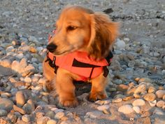 Fabio the long-haired english cream mini dachshund