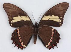Papilio arcturus3