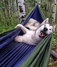 The adventures are never-ending for Loki the wolfdog. He's a husky/arctic wolf/malamute mix who love... - Mom.me