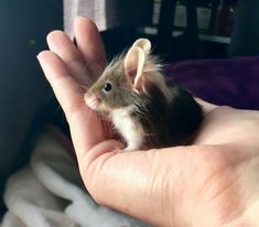 I don't know how this sub likes mice but here is my oldest and most favorite mouse Merry. via aww on November 02 2018 at Cute Rats, Cute Hamsters, Cute Little Animals, Cute Funny Animals, Pet Mice, Bear Grylls, Cute Mouse, Cute Animal Pictures, Cute Creatures