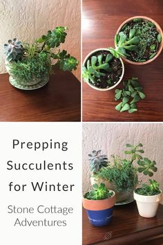 Stone Cottage Adventures: Prepping Succulents for Winter