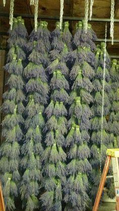/\ /\ . Lavender Farm