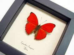 I Love You Red Heart Butterfly Display Free by REALBUTTERFLYGIFTS