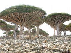 Socotra Island, Yemen and the star-trekky trees called Dragon Blood trees. This isolated island has 700 extremely rare species of flora and fauna, 1/3 or which are found nowhere else...