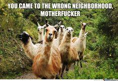 Gang of Llamas