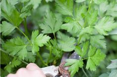 Parsley (Petroselinum crispum) is a biennial herb that most gardeners grow as an annual. It is hardy in U. Department of Agriculture zones Seed germination is very slow ,. Water Garden Plants, Indoor Water Garden, Herbs Garden, Garden Tips, Parsley Plant, How To Grow Parsley, Pots, Seed Germination, Plant Cuttings