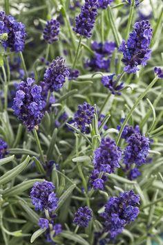 Proven Winners Sweet Romance Lavender (Lavandula) Live Plant, Blue-Purple Flowers, in. - The Home Depot Lavender Seeds, Growing Lavender, Gardenias, Lilacs, Purple Plants, Purple Flowers, Purple Garden, Lavender Plants, Lavender Garden