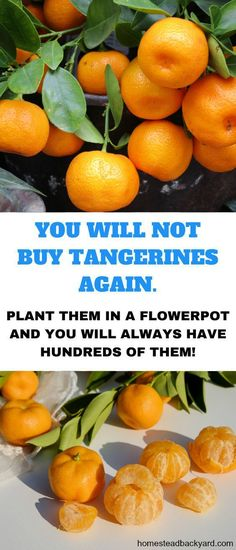Vegetable Gardening You Will Not Buy Tangerines Again, You can always have them in plenty by just planting them in a flower pot. - You Will Not Buy Tangerines Again, You can always have them in plenty by just planting them in a flower pot. Home Vegetable Garden, Fruit Garden, Edible Garden, Growing Plants, Growing Vegetables, Growing Melons, Gardening For Beginners, Gardening Tips, Full Sun Flowers