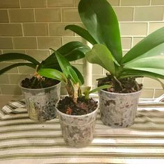 Illustrated Guide on How to Repot an Orchid Moth Orchid, Orchid Plants, Phalaenopsis Orchid, Orchids, Staghorn Fern Care, Ferns Care, Orchid Roots, Clean Pots