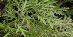 Táto úžasná bylinka zabije 98% rakovinových buniek do 16 hodín