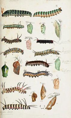 Caterpillar and chrysalis. Plate from A Catalogue of the Lepidopterous Insects in the Museum of the Hon. East-India Company.