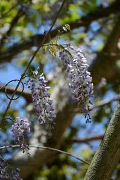 Japanese wisteria (2013/4/28)