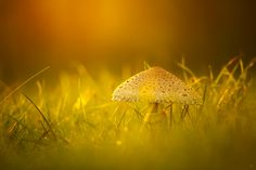 35PHOTO - Wojciech Grzanka - The Parasol Mushroom
