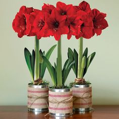 Trio of Red Amaryllis Gift Bulb: Decorate your own home with this dazzling trio, or present them as individual gifts to brighten someone else's season! Amaryllis grow extremely quickly and last for weeks, creating a festive atmosphere wherever they're displayed! -- This product is no longer available, however click the image to see this year's Amaryllis Bulb Gifts!