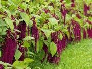 Pro toto bylo pěstování této plodiny zakázáno! Znají ji po celém světě a je pýchou Slovanů. Znáte ji i vy?