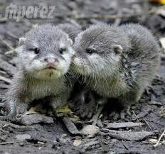 The Chester Zoo isn't trying to keep their otter babies a secret. Lucky for us, the facility adores sharing pictures of this adorable Asian short-clawed otter duo. The curious kids are quickly growing up into playful adults. Funny Animal Memes, Funny Animals, Cute Animals, Beautiful Creatures, Animals Beautiful, Otter Pup, Otter Love, Baby Otters, Kawaii