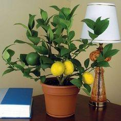 Grow a Meyer lemon tree indoors.