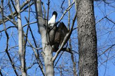 Our naturalist grabbed this shot of a goose stuck in a tree 03/20/12.