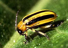 natural pesticides for Striped or spotted Cucumber Beetle. These dang things are doing havoc on my cucumbers and melons!