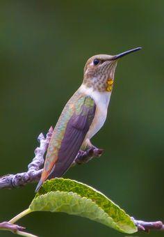 .lavender humming bird