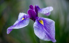 ирис, сиреневый, цветок, лепестки