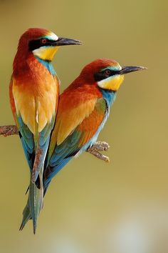 Bee-Eaters (such an odd name for such a beautiful bird.) They swoop the bees on the wing. From Europe and Africa....: