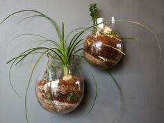 Recycled Glass Bubble Wall Terrariums  Sprout Home