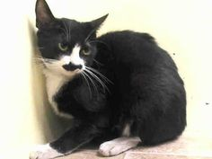 TO BE DESTROYED 5/23/14 ** Lactating but came without kittens -Tense and nervous. If you can't adopt, please foster or pledge to save poor Blanca tonight!! *  Manhattan Center  My name is BLANCA. My Animal ID # is A1000080. I am a female black and white amer sh mix. The shelter thinks I am about 2 YEARS  I came in the shelter as a OWNER SUR on 05/17/2014 from NY 10457, MOVE2PRIVA. I came in with Group/Litter #K14-177686.