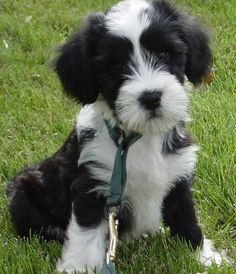 Tibetan Terrier. ::: After @Molly Elizabeth and I saw a tibetan terrier, I'm obsessed! :::