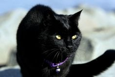 Beautiful Black CATS (ᵔᴥᵔ) Michael Greenblatt's distance-running cat, Roadrunner, on the beach in Long Branch. Selkirk Rex, Cornish Rex, Devon Rex, Scottish Fold, Road Runner, Here Kitty Kitty, Maine Coon, I Love Cats, Black Cats