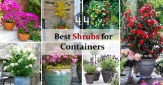 Check out 44 Best Shrubs for Containers. You'll like to have some of these shrubs right away in your container garden.