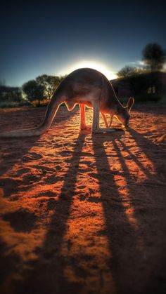 Here is a great photo of Abi the kangaroo at sunset taken at the Kangaroo Sanctuary in the NT in Australia