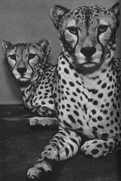 Cheetahs....love 'em