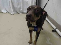 DIES THURS. 03/02/17 6AM - NEEDS URGENT RESCUE/FOSTER/ADOPT - **SEE VIDEO!!** SUPER URGENT - HOUSTON -This DOG - ID#A478407  I am a male, brown and tan Rottweiler.  I have been at the shelter since Feb 25, 2017.     Harris County Public Health and Environmental Services.  https://www.facebook.com/harriscountyanimalsheltervolunteers/videos/458314590959453/