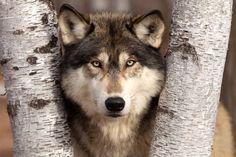 Timberwolf Between Birches, Minnesota  via MuralsYourWay.com