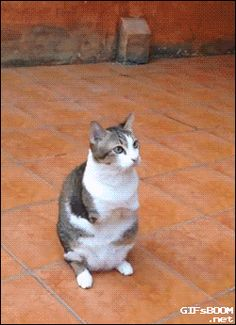 Cat with no front legs can still jump #cats   #funny