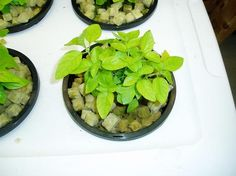 Baby hydroponic basil plants... Home Hydroponics, Basil Plant, Spinach, Vegetables, Plants, Baby, Food, Veggie Food, Flora
