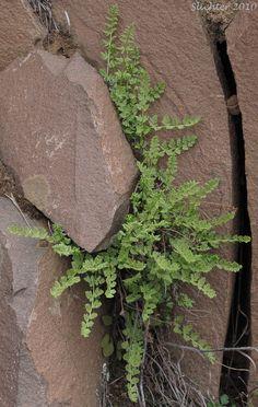Oregon Cliff Fern, Oregon Woodsia, Western Cliff Fern: Woodsia oregana ssp. oregana