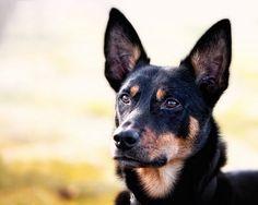 Australian Kelpie Dog - Looks like Toola! Australian Dog Breeds, Australian Bulldog, Australian Cattle Dog, Beautiful Dogs, Animals Beautiful, Cute Animals, Australian Shepherds, Cute Dog Photos, Cute Animal Pictures
