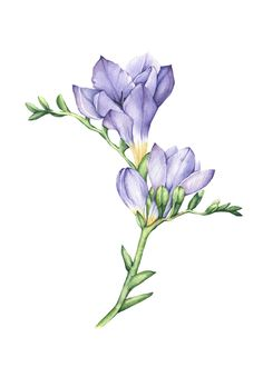 Freesia Flowers on Behance Botanical Flowers, Botanical Art, Fresia Flower, Watercolor Flowers, Watercolor Paintings, Flower Art Drawing, Lotus Art, Plant Painting, Color Pencil Art