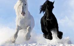 white and black horses at Desktop Nexus Animals