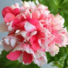 #pelargonia #pelargonium #MarieLouise