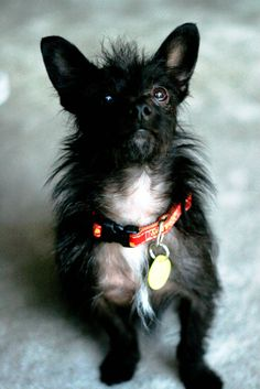 Image result for black chihuahua terrier mix Chihuahua Terrier Mix, Black Chihuahua, Undercover, Dogs, Image, Animals, Animales, Animaux, Pet Dogs