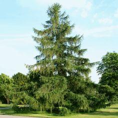 Liberati dalle emozioni: Larice l'albero del nutrimento spirituale
