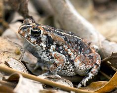 Anaxyrus quercicus, Oak toad, Perdido Pitcher Plant Prairie, Escambia County, Florida | Flickr - Photo Sharing!